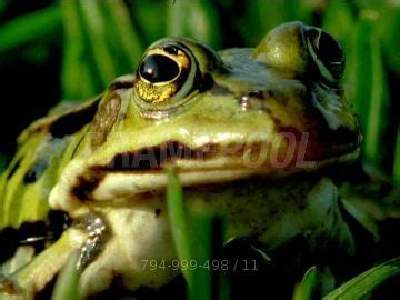 Grenouille rieuse / Herbe / Allemagne   HD Stock Video 794
