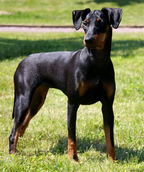 Manchester Terrier History, Personality, Appearance