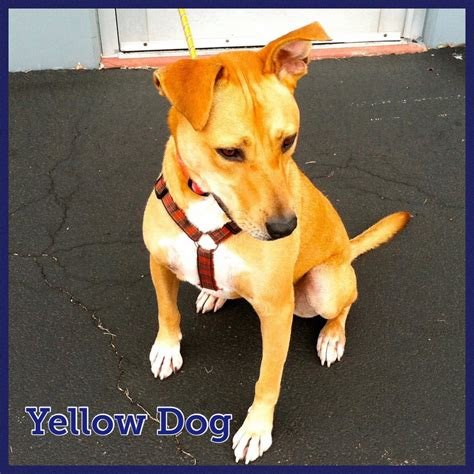 Yellow Dog - Safe Haven Dog Rescue