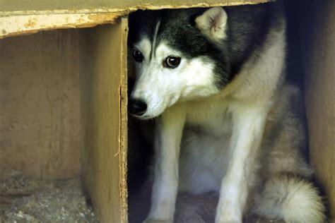 Fear Aggression in Dogs - Symptoms, Causes, Diagnosis