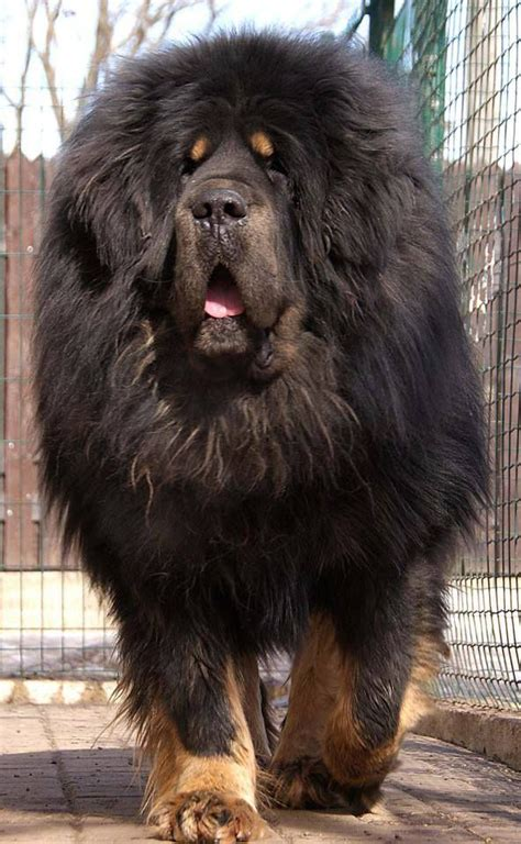 17 Of The Biggest And Most Beautiful Mastiff Breeds In The